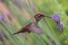 GardenHummingbird